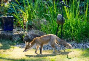 Dieser Fuchs liebt Mirabellen