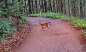 In den Wäldern rund um Hauenstein treibt sich ein Luchs herum